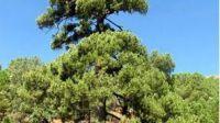 Un pino en La Adrada gana el concurso ÁRBOL DEL AÑO 2016