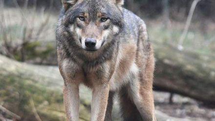 Un nuevo ataque de lobos en Piedrahíta (Ávila) acaba con un ternero de dos meses por lo que UPA-COGA pide mas controles