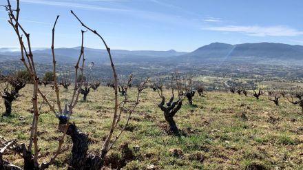 Primeras subvenciones para inscribir viñedos en la DOP Cebreros